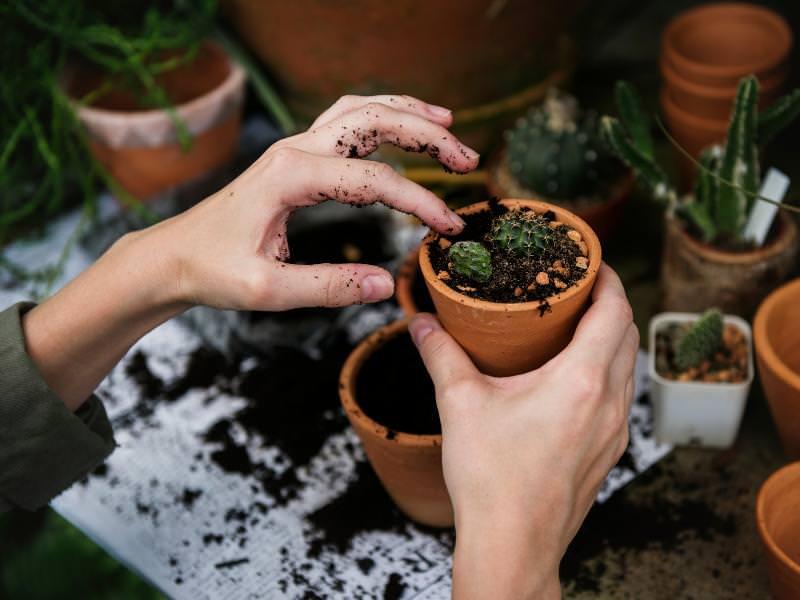 Des mains en train de tasser de la terre dans un pot avec une plante.